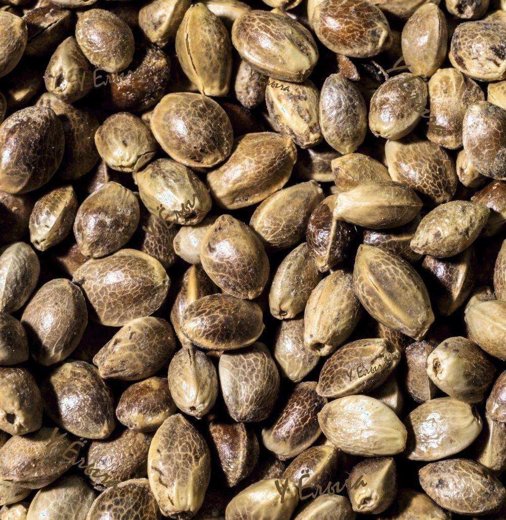 Конопляные семена хабаровск если нашли марихуану